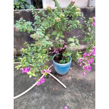 cây bông giấy 3 màu